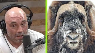 Joe Rogan Freaks Out About Muskox and Aliens