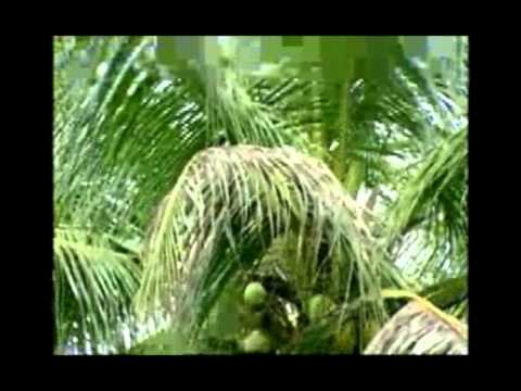 Coconut Cultivation - 01