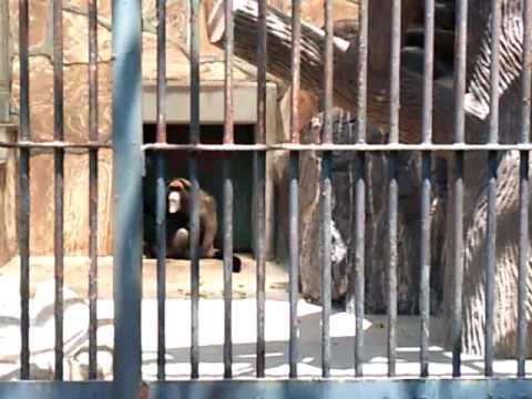 猿 徳山動物園