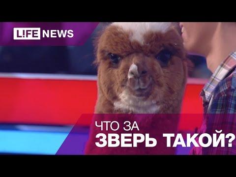 Альпака  Ляля в студии LIFESTART