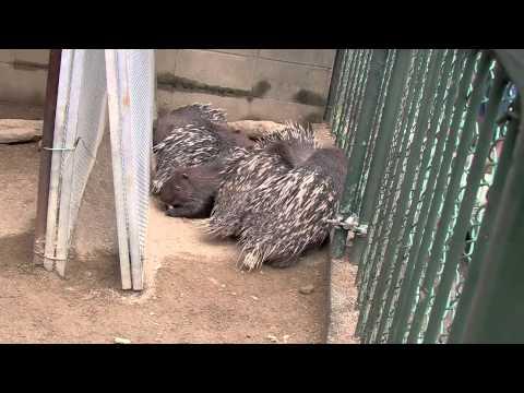 Porcu-Porcu Movie [Malayan Porcupine at Tokuyama Zoo]