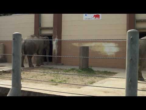 アジアゾウのアーシャーとダーナ(5月9日DSC-TX7撮影)