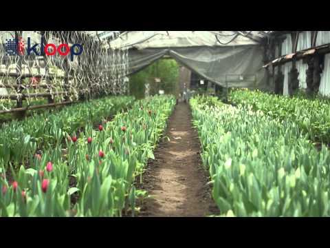 Выращивание тюльпанов в зимней теплице 83