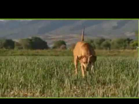 Dogs Hunting Lions Videos