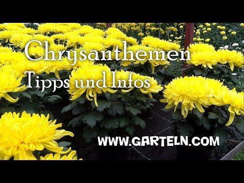 Chrysanthemen Tipps und Infos