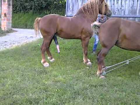Video : Horse mating - Deckakt Pferde