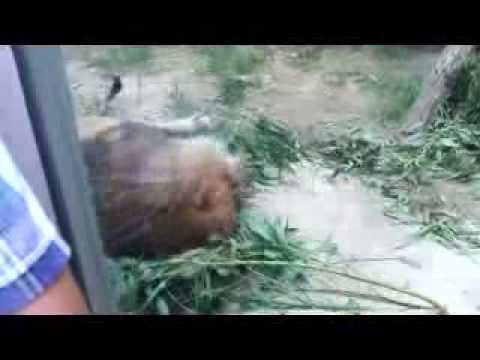 名古屋東山動物園のライオン
