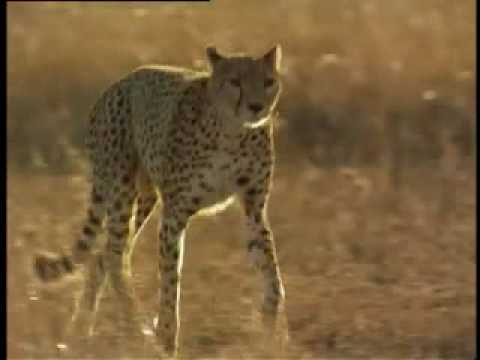 Cheetah vs Hyena