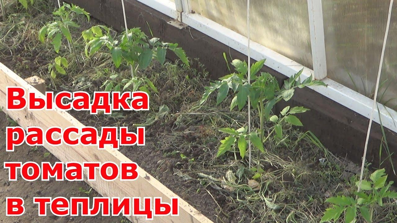 Когда сажать в теплицу рассаду помидоров 53