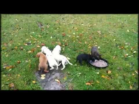 PitBull Puppies For Sale, Purebred