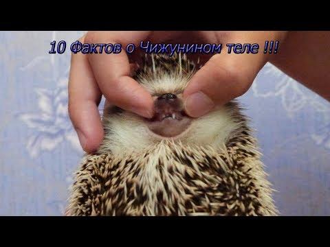 10 Фактов о Чижунином теле !!!! Изучаем ежа )))