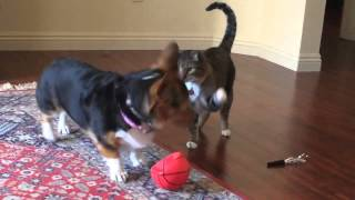 Dog body slams Cat