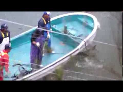 Taiji, Japan - Killers tether bottlenose dolphins before slaughter