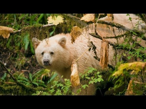 Kevin Bacon calls attention to a proposed pipeline and supertanker traffic that would endanger the world's last 400 Spirit Bears in British Columbia. Video: Trip Jennings, Damian Gills, ,...