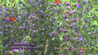 Flora View: Slangenkruid - Echium vulgare - Viper's bugloss
