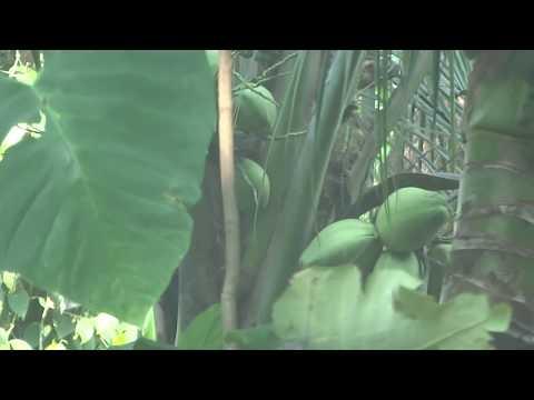 coconut tree ( 2 year old ) - Kerala