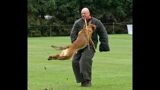 knpv protection dog police bite attack training pit bull dutch holland bulletproof pitbulls