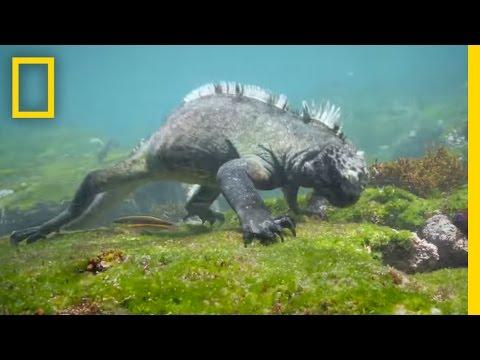 ガラパゴス諸島でウミイグアナを激写!イグアナが悠々と海を泳ぐ?!