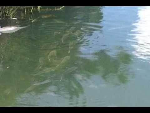 SOLID FISH IN WALL SPRINGS PARK IN TARPON SPRINGS,FLORIDA MULLET,NILE PERCH,OTTERS AND A SNOOK