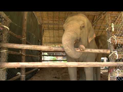 Gentle Giants Trailer - The lives of captive elephants in Thailand