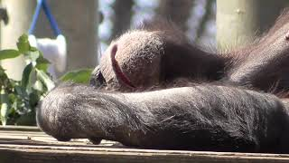 【laid back】 Chimpanzee【Zoological Park in Tokyo , Japan】
