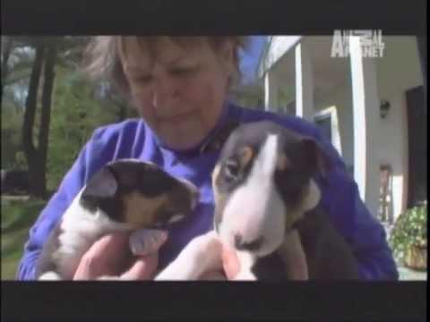 BULL TERRIER - ABC CANINO - 101 DOGS - ESPAÑOL