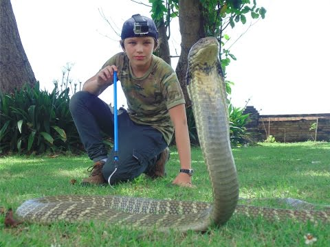 Deadly King Cobras and Snakes of Bali HD