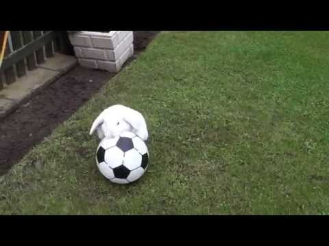 Mini Lop Rabbit Playing Football