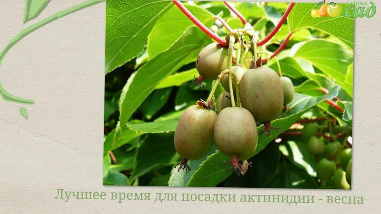 Растение актинидия посадка и уход; актинидия фото 77