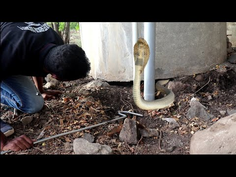 Big cobra snake rescue opration from Ahmednagar | Snake rescuer Akash jadhav Ahmednagar maharashtra