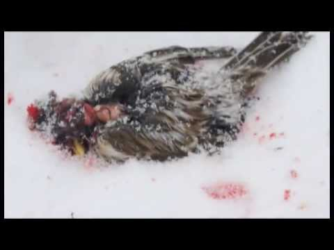 Tit Bird kill and eat sparrow | Murder Tit (bird)