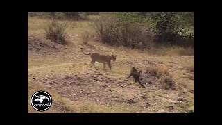 LION VS BABOON - WHY LION LOST