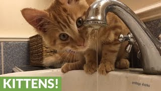 Kitten can't figure out how to drink water from faucet