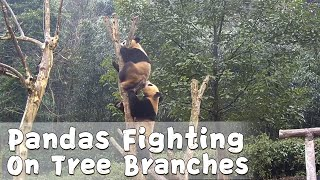 Li Dui And Jing Bao Fighting On Tree Branches | iPanda