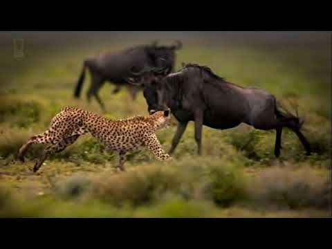 Against All Odds - King Drum - Lion N Cheetah