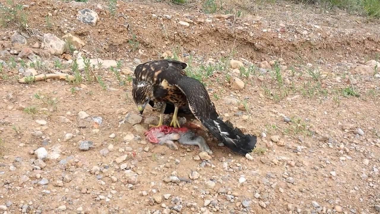 Bald eagle eating rabbit