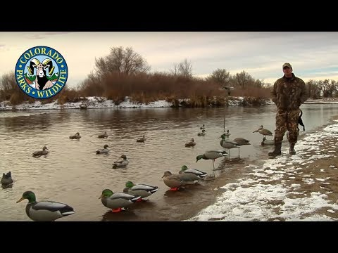 Duck Decoy Strategies - Colorado Rig