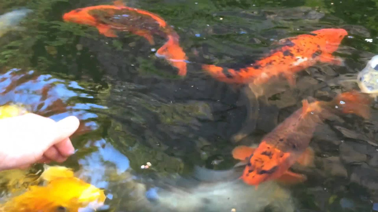 How to hand tame your koi hand feeding my koi fish youtube for Koi feeding