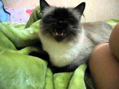 Pisica Miauna La Sunete Ascutite video