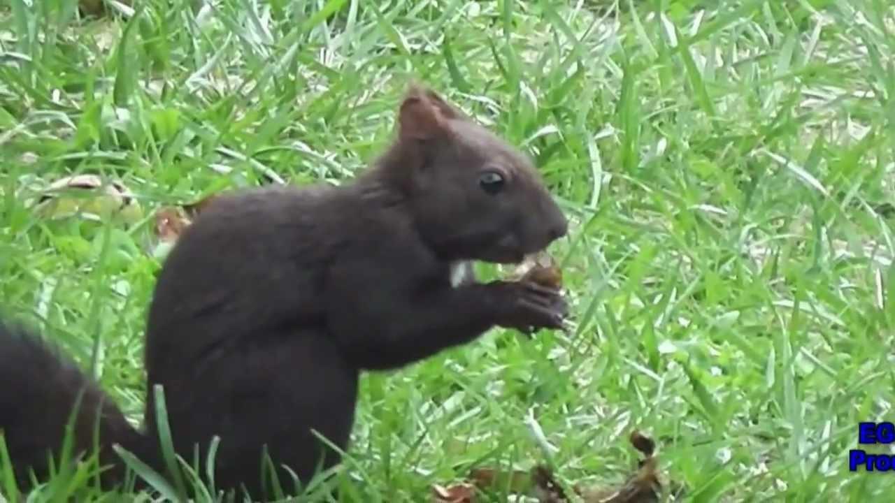 schwarzes eichh rnchen black squirrel siyah. Black Bedroom Furniture Sets. Home Design Ideas