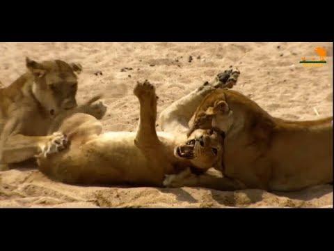 Wild Fauna / Битва прайдов / Lion Kingdom / 1-Гордость и наказание