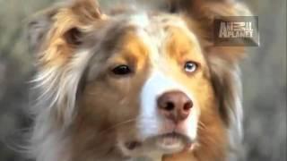 Dogs 101 Australian Shepherd