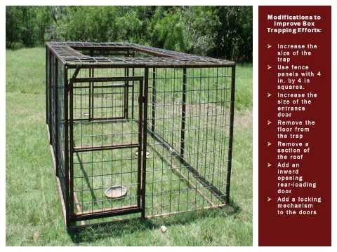Improving Feral Hog Box Trapping Efforts
