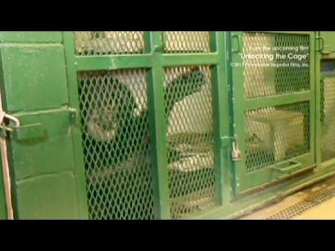 محكمة أمريكية: الشمبانزي لا يتمتع بحقوق الإنسان