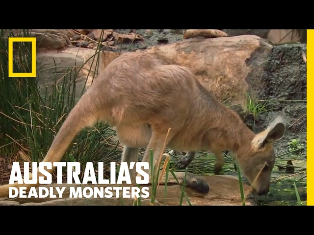 Croc vs. Roo | Australia's Deadly Monsters