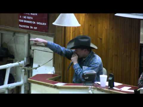 Livestock - Good presentation of a (Livestock) cattle auction in Texas / Blablbablabla....