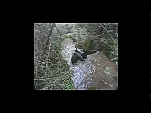 Caçada de Javali com rotweiller pt1 (boarn hunting wild)