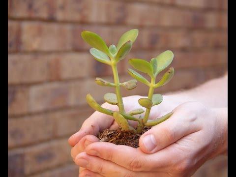 В какой грунт сажать денежное дерево 13