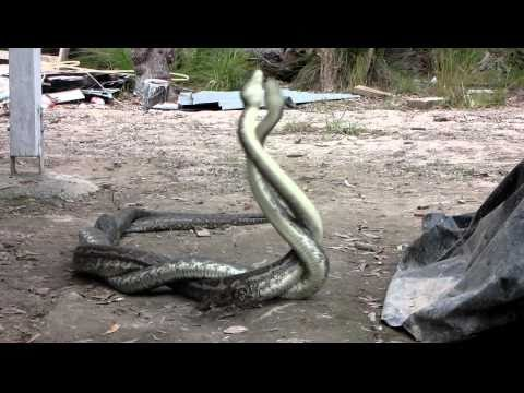 Carpet Snake Fight