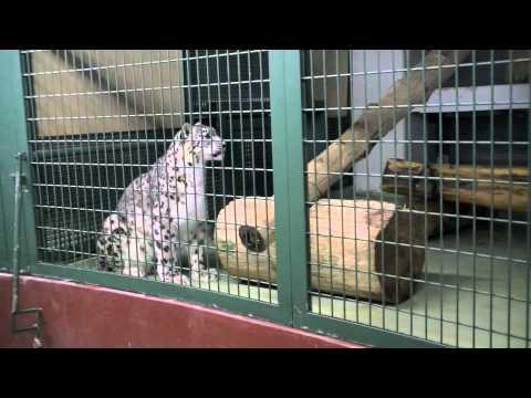 足を踏み外したユキヒョウの赤ちゃん~Snow Leopard's Baby